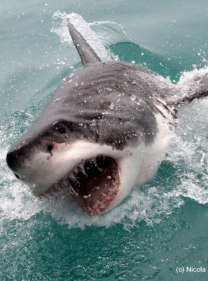 The great white shark jumping out the water at Gansbaai