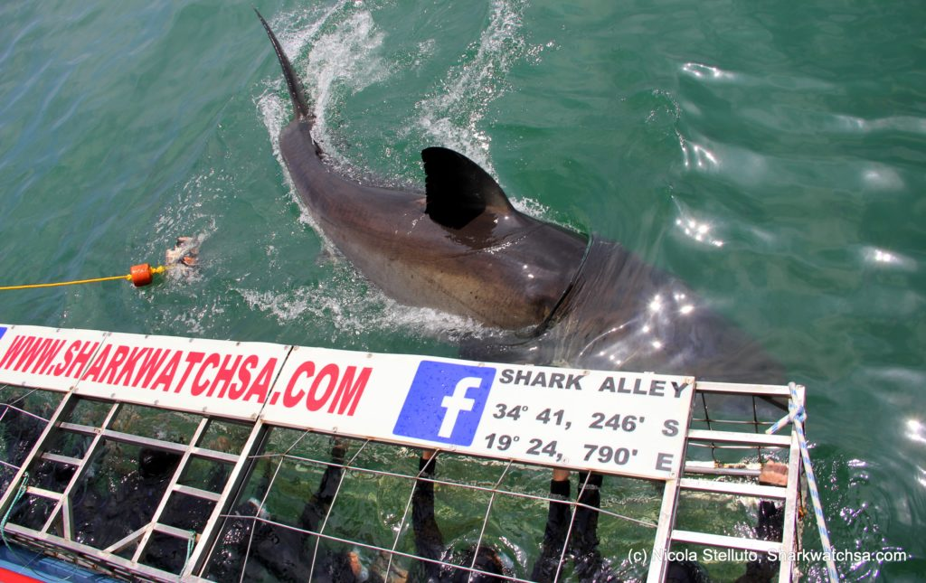 Shark diving in a cage gets you this close to the Great White Shark