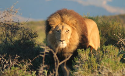 Lion, Big 5, African Safari, Aquila Game Reserve, Cape Cruise Services, African Safari Tour