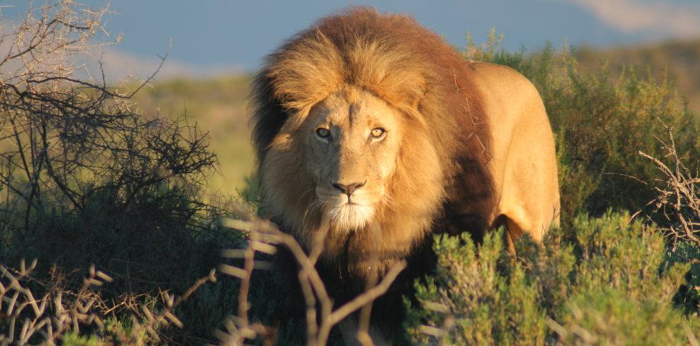 Lion, Big 5, African Safari, Aquila Game Reserve, Cape Cruise Services, African Safari Tour